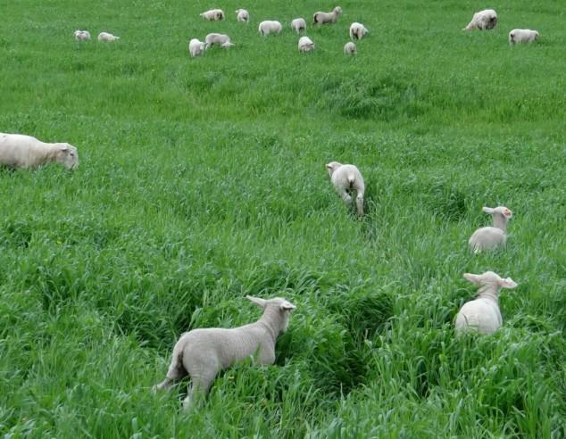 lambs-pasture-3-1024x796